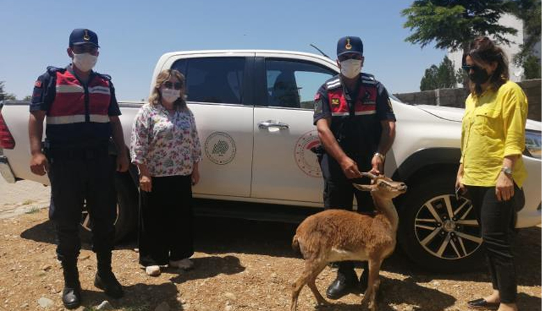 Kahramanmaraş'ta yaralı yaban keçisi tedavi edilecek
