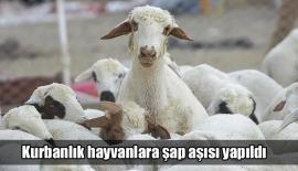 Kurbanlık hayvanlara şap aşısı yapıldı