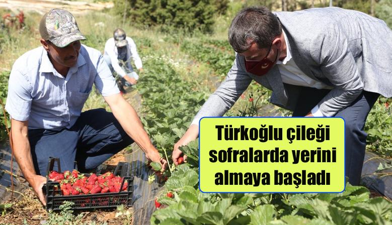 Türkoğlu çileği sofralarda yerini almaya başladı