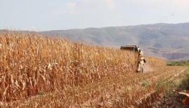 Pazarcık'ta mısır hasadı başladı