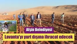 Afşin Belediyesi lavanta'yı yurt dışına ihracat edecek